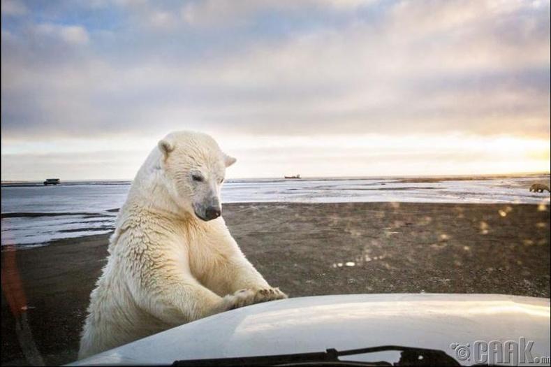 Аляска-ын цагаан баавгай