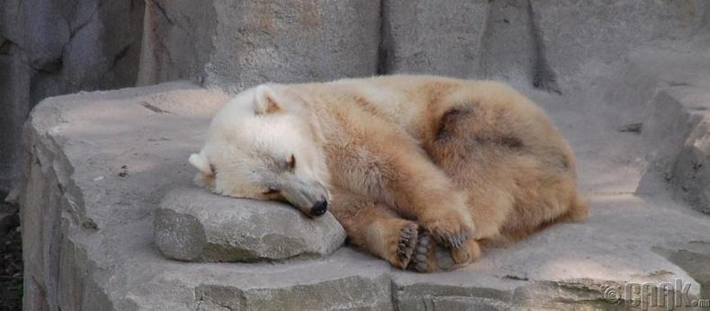 Хүрэн баавгай + Цагаан баавгай (Grolar bear)