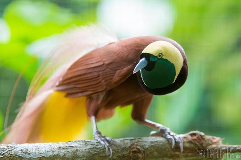 Диваажингийн шувуу