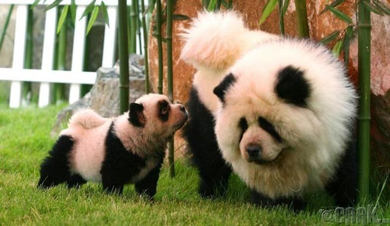 Панда нохой