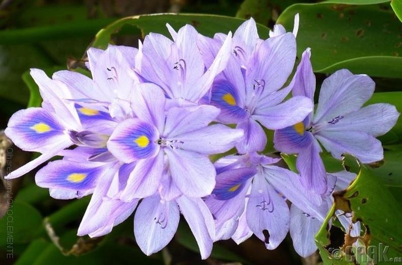 Эйхорния буюу усан хэлгий цэцэг