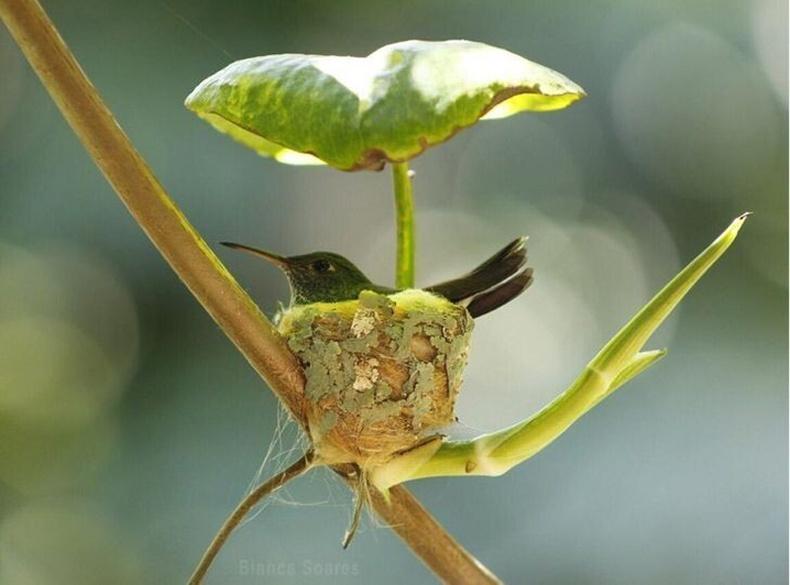 Балч шувуу үүрэн дээрээ навчаар саравч хийдэг
