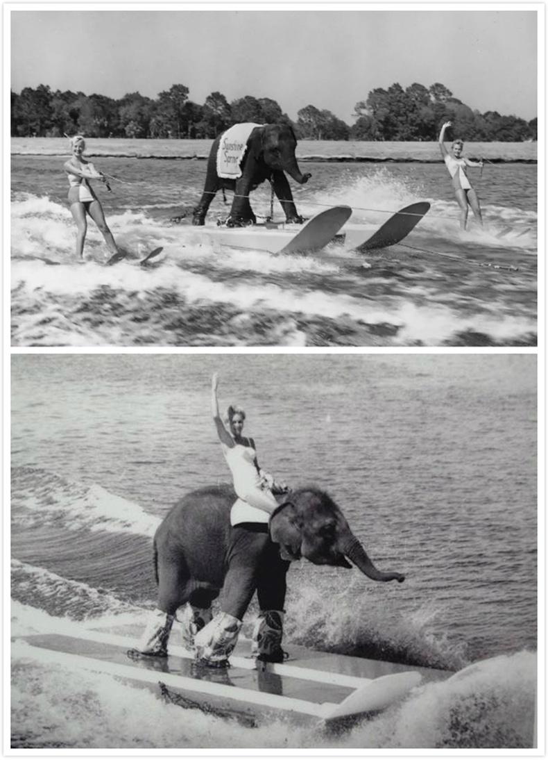 Сёрфинг хийсэн цорын ганц заан (1950)