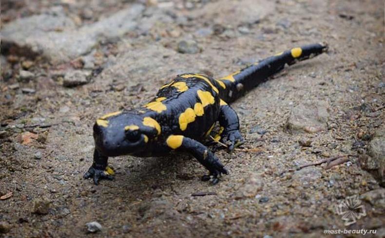Галт гүлмэр (Salamandra salamandra)
