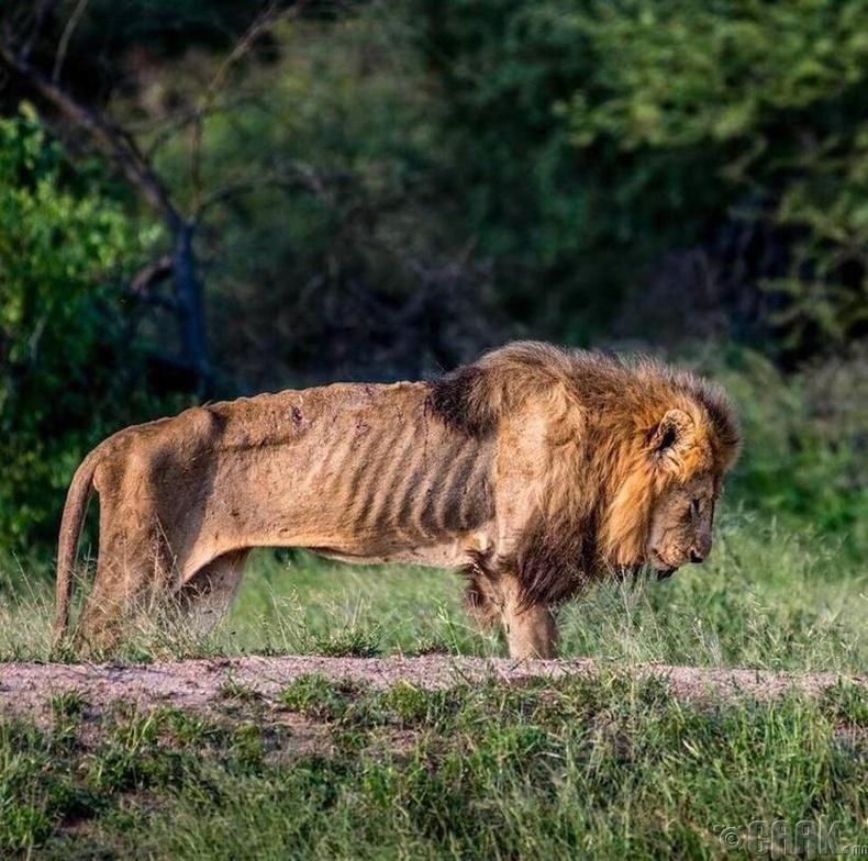 Үхэх өдрөө хүлээж буй арслан