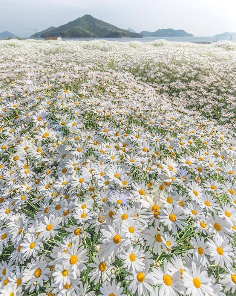 Японы Кагава нутгийн балжингарам цэцэгс
