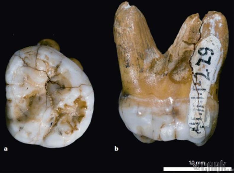 """""""Denisovan""""-ийн шүд"""