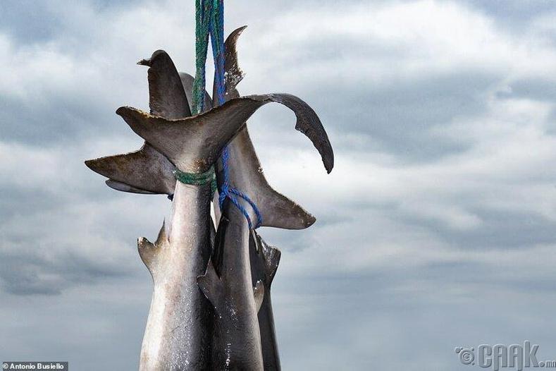Эквадорд аварга загас агнасан нь, Антонио Буселло
