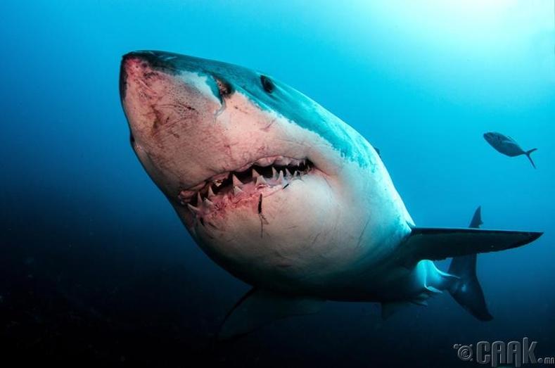Цагаан аварга загас долоон эгнээ шүдтэй