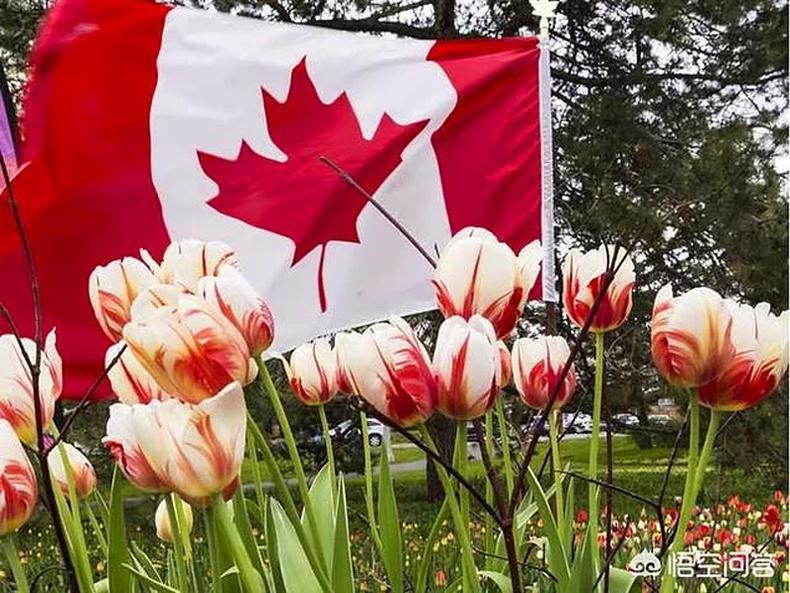 Даничууд талархлаа илэрхийлэхийн тулд жил бүр 20,000 алтанзул цэцэг Канад руу илгээдэг
