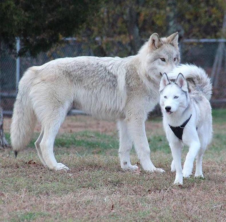Чоно ба хаски нохой