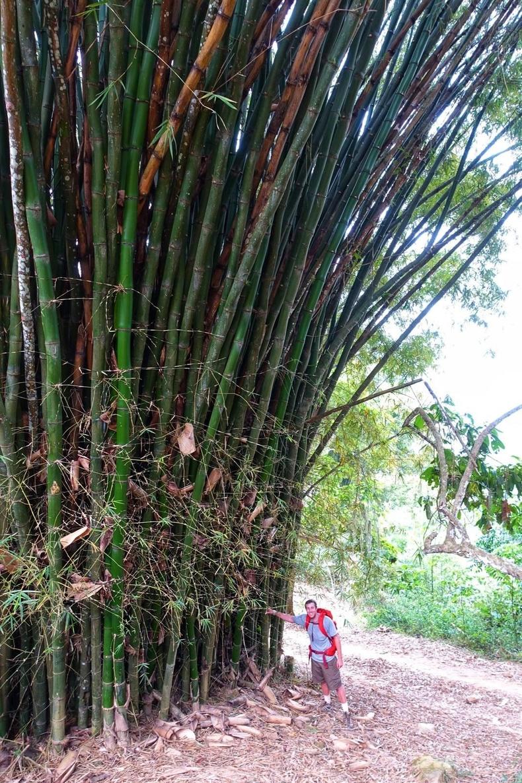 Колумбид хулс 25 метр хүртэл өндөр ургана