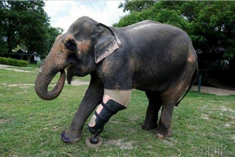 Минад өртөж хөлгүй болсон Моша заанд эмч нар хиймэл хөл хийж өгчээ.