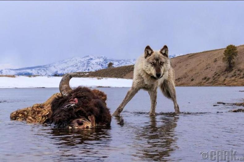 """АНУ-ын """"Стоун"""" цэцэрлэгт хүрээлэн дэх чоно"""