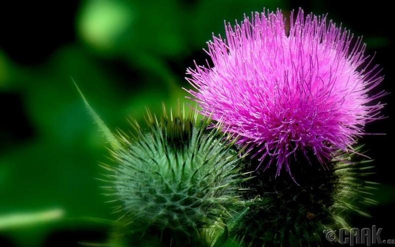 Хонгорзул цэцэг