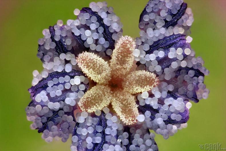 Шимтэглэй цэцэг - Фредерик Лабон, Франц
