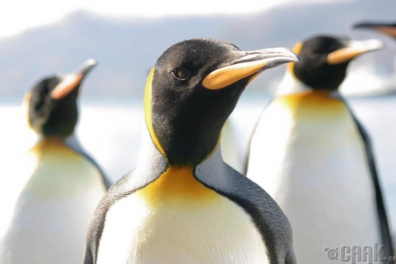 Оцон шувууны ялгадас нь Антарктидын эко системийг өөрчилдөг