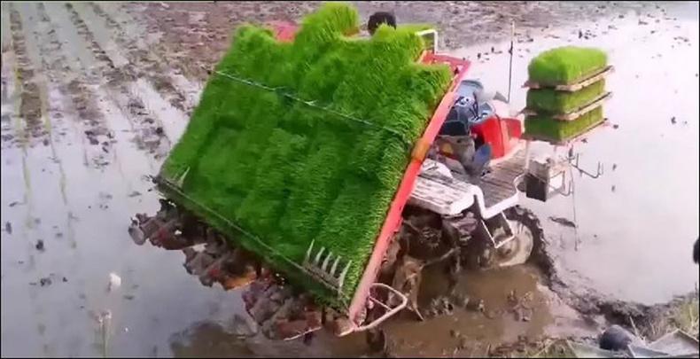 Хятадуудын цагаан будаа тарих технологи