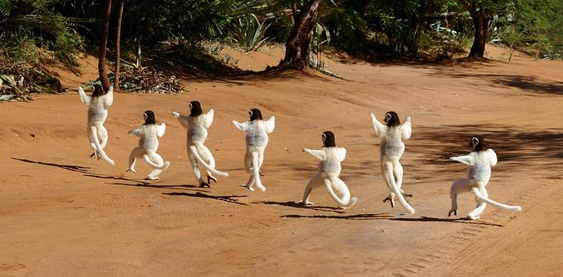 Сифаки сармагчингууд зам гарч буй нь