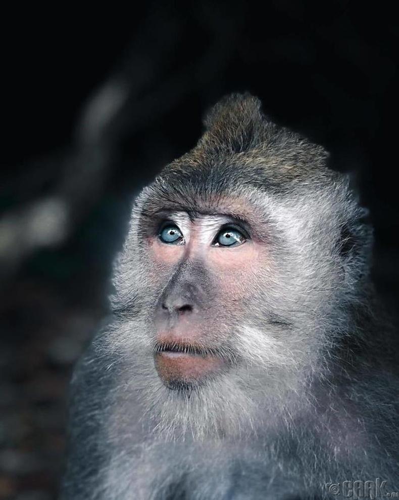 Цасны сармагчин - Гэрэл зурагчин Максим Израйл Колийр (Maxime Israel Collier)
