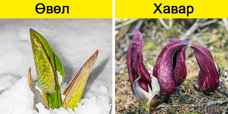 Зарим цэцэг цасыг хайлуулах чадвартай