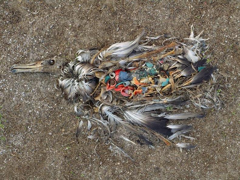 Хуванцар хаягдаас болж үхсэн Альбатрос, Мидуэй арал