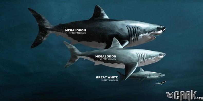 Аварга акул (Мегалодон, C. megalodon)
