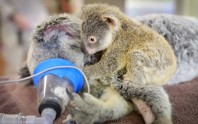 Өвчтэй эхээсээ нэг ч холдоогүй коалагийн зулзага