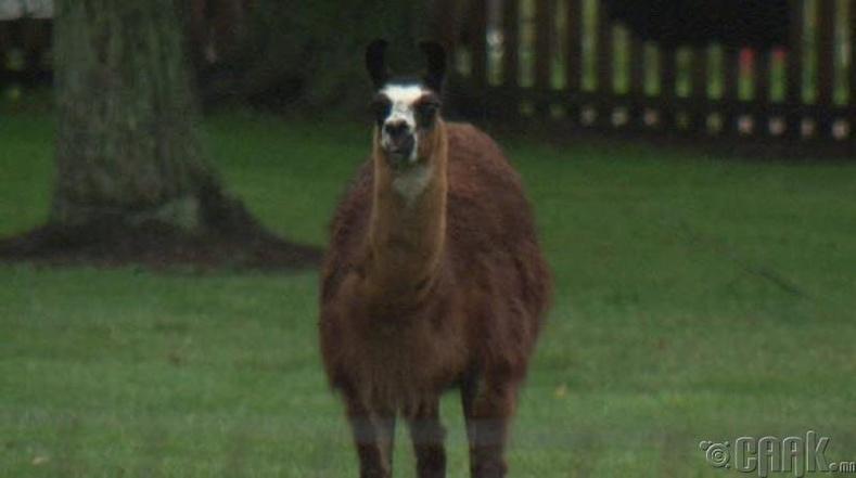 Лам гөрөөсийн санаандгүй үйлдэл