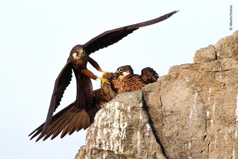 Хоолоо булаацалдаж буй шонхор шувуу, Альберто Фантони