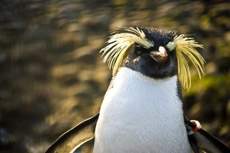 Алтан үст буюу Макарони оцон шувууд