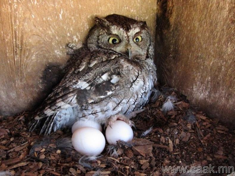 Шар шувууны түүхий өндөг