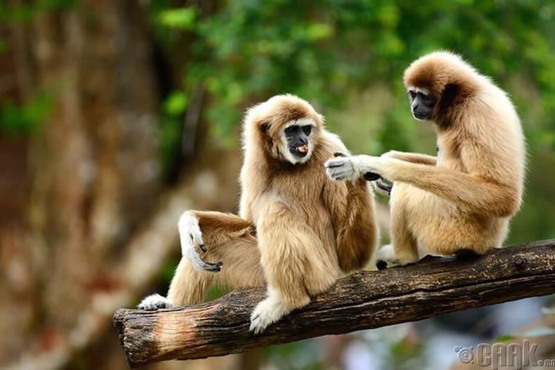 Гиббон сармагчин