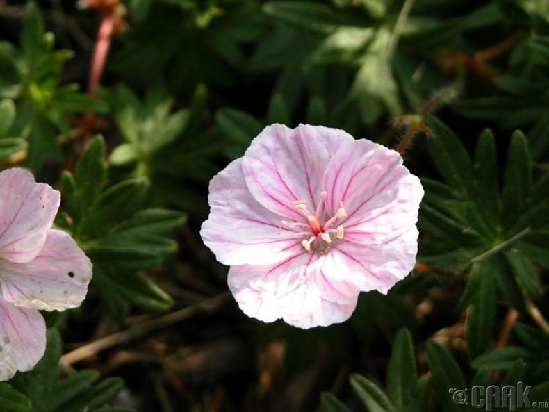 Энэ цэцгийг тарихдаа юу анхаарах хэрэгтэй вэ?