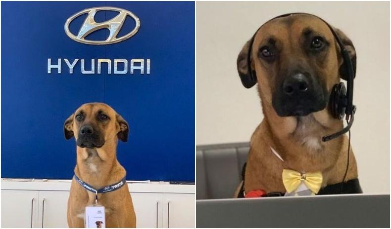 """""""Hyundai""""-ийн дэлгүүрээр байнга эргэлддэг байсан нохойг ажилд авчээ"""