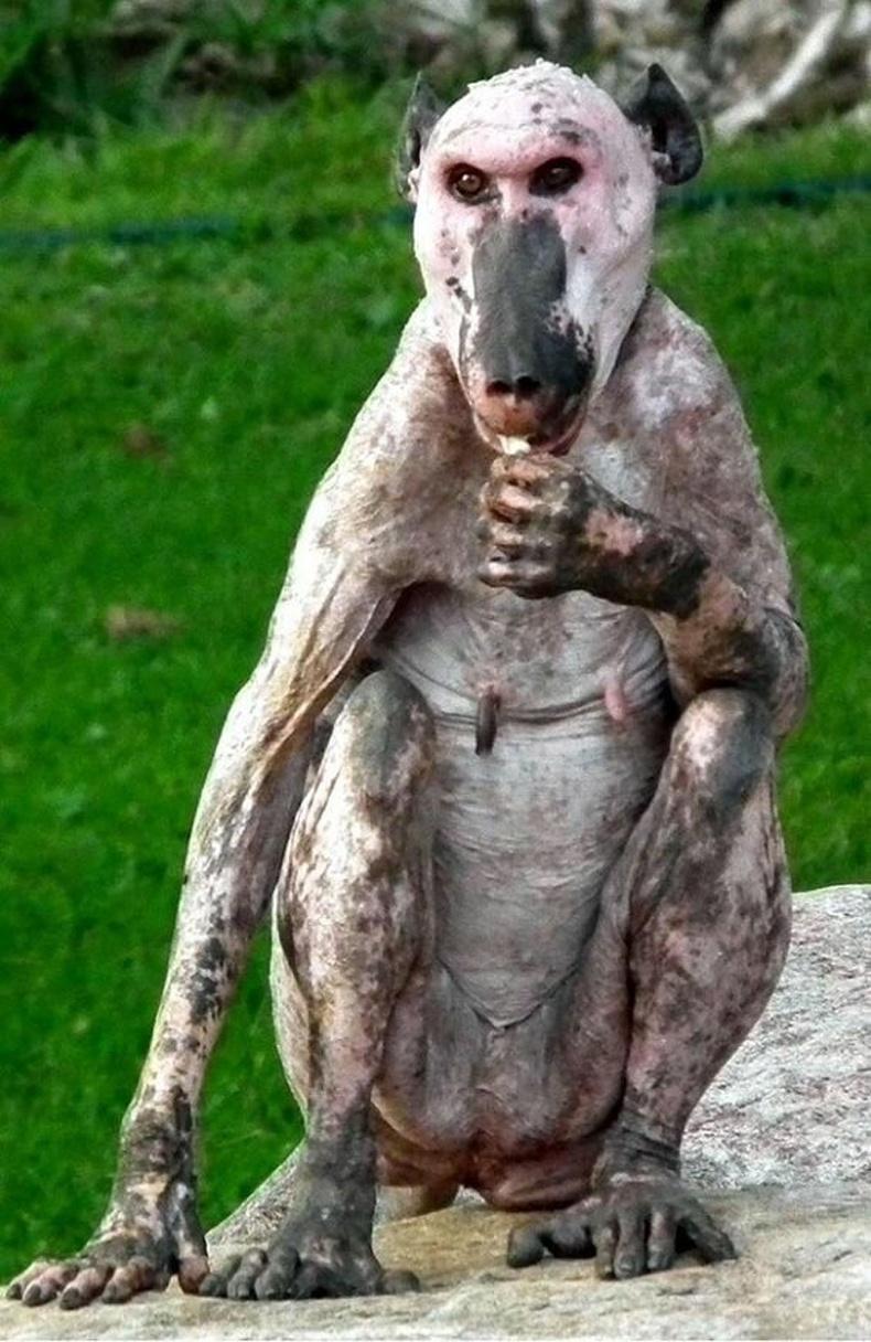 Халзрах өвчтэй бабун сармагчин