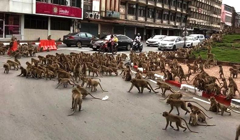 Тайландын хотын гудамжинд сармагчны дайн болж, зам хаагджээ