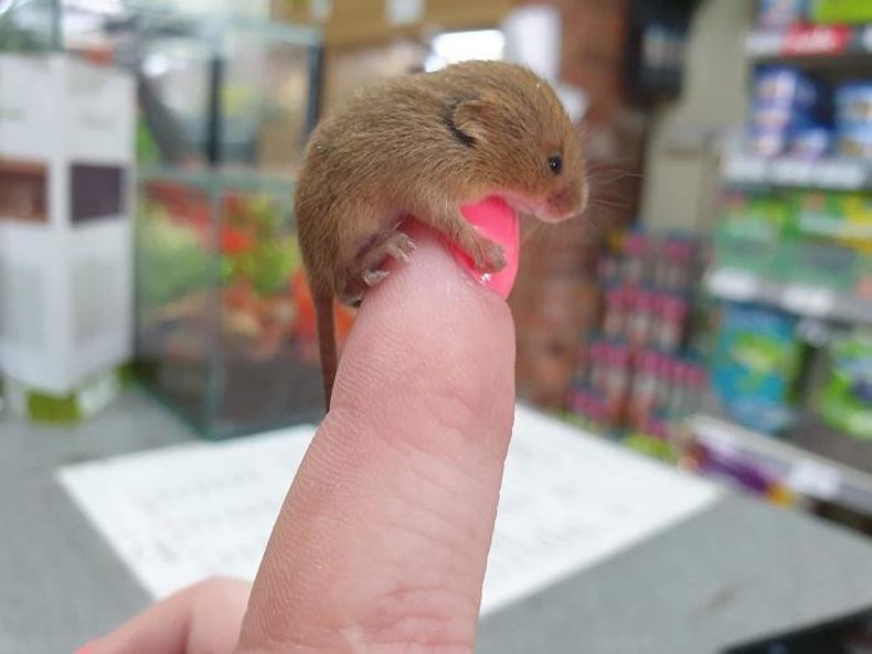 Ийм жижигхэн хулгана харж байсан уу?