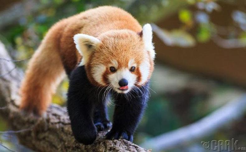 Улаан панда