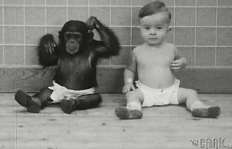 Шимпанзег хүүтэйгээ хамт өсгөж туршжээ