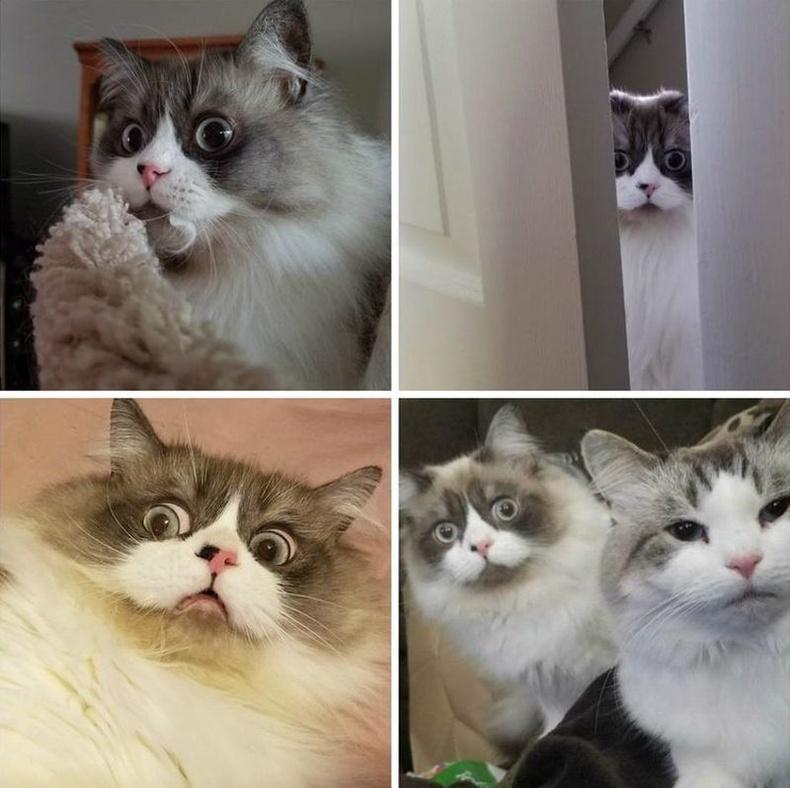 Төрөлхийн ийм хөгжилтэй царайтай муур гэнэ.