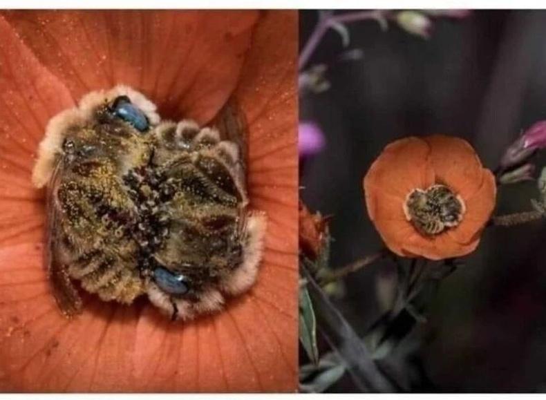 Зөгийнүүд өдөрт 5-8 цаг цэцгийн дэлбээнд ингэж унтдаг гэнэ.