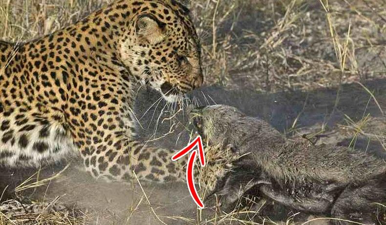 Дэлхийн хамгийн догшин, айхыг мэддэггүй амьтан
