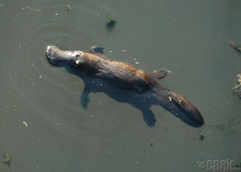 Нугасан хошуут - /Platypus/