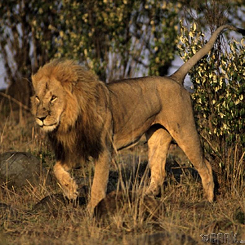Маасай арслан агнах