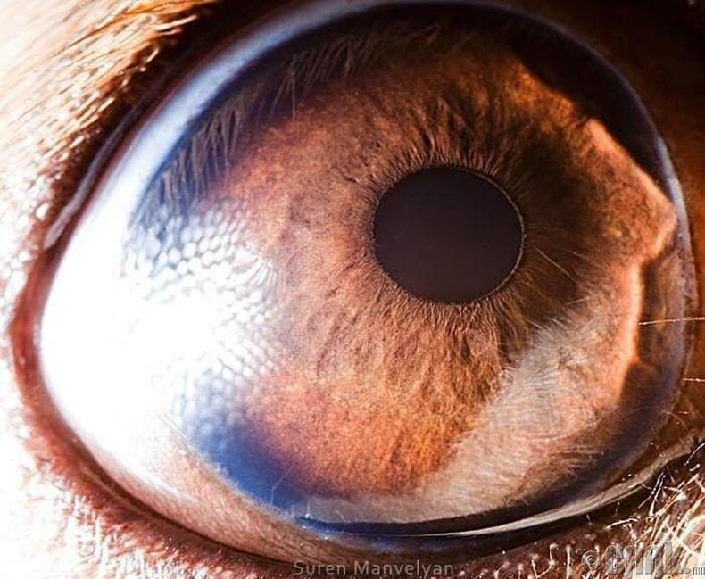 Бээжин үүлдрийн нохой өнгө ялгадаггүй, зөвхөн хар цагаанаар хардаг
