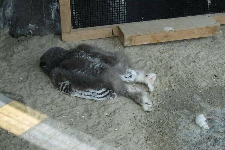 Шар шувууны дэгдээхэйний толгой хэтэрхий хүнд тул ингэж доошоо харж унтдаг гэнэ.