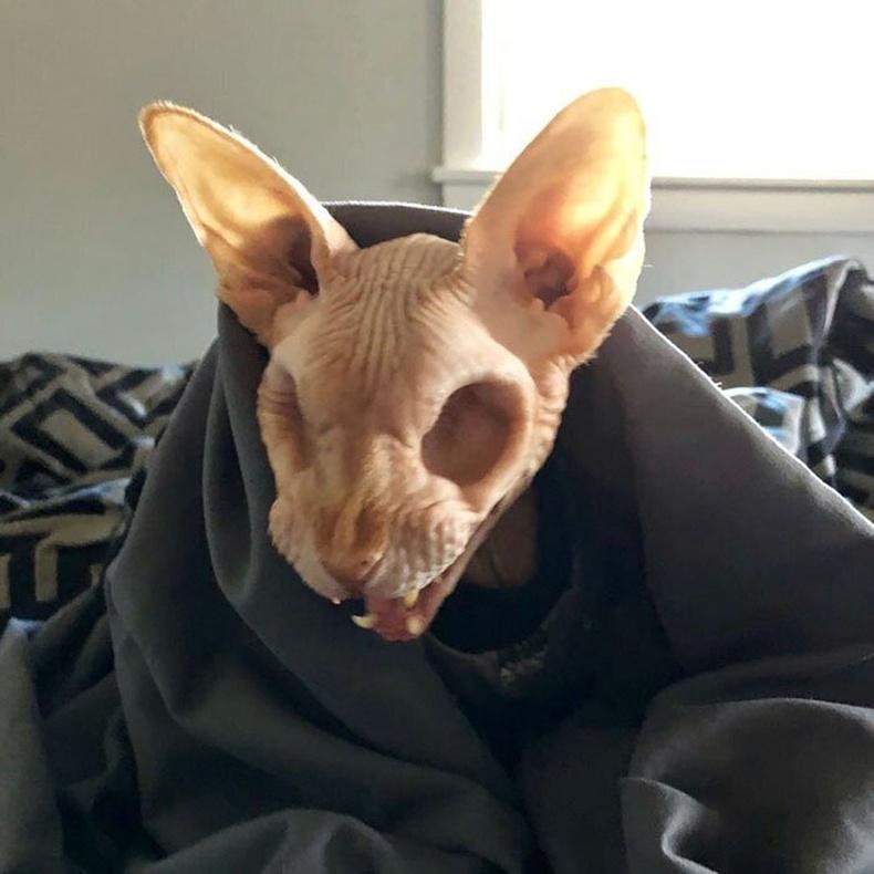 Нүдгүй сфинкс муур