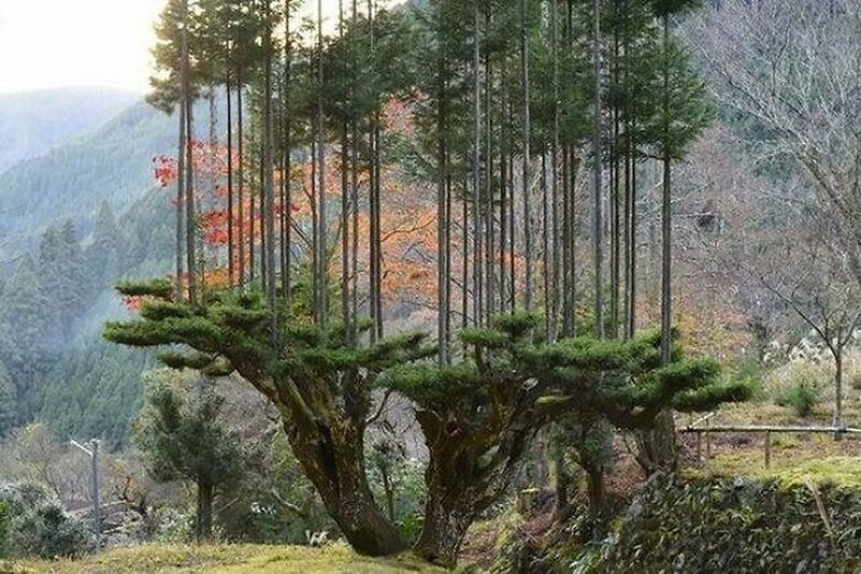 Японд 14-р зуунаас хойш модыг огтлохгүйгээрмод бэлтгэх арга хэрэгжиж эхэлсэн.