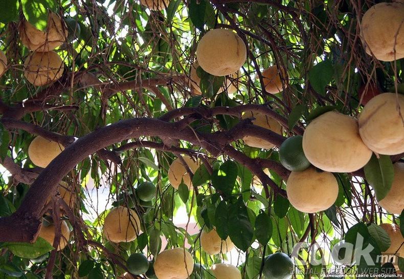 Грейпфрут хэрхэн ургадаг вэ?